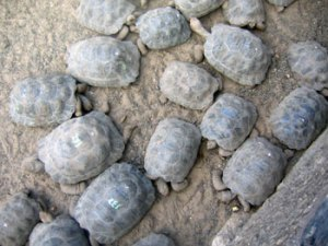 Tortoise Breeding and Rearing Program