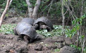 San Cristobal Tortoises