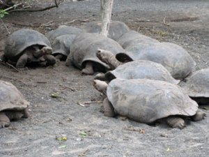 Isabela Tortoises
