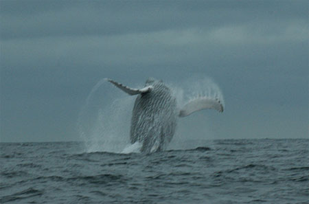 Humpback Whale near the Coast of Ecuador