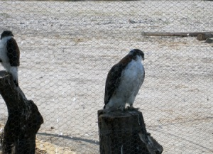 Rescued Falcons at the Hacienda Nazca Oasis