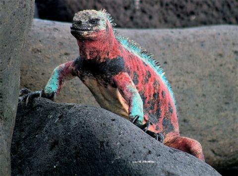 Espanola Marine Iguana