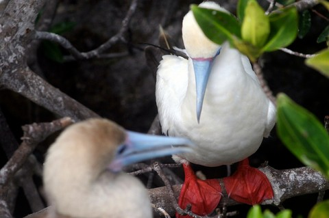 Red footed Boobies