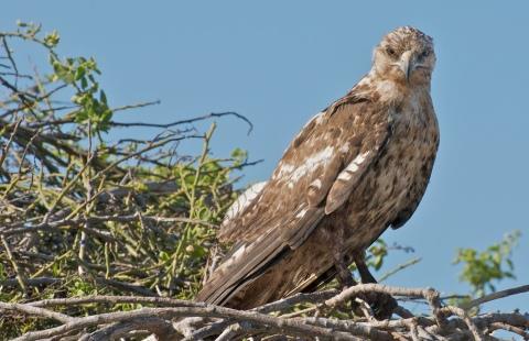 Santa Fe Hawk