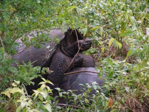 galapagos tortoises